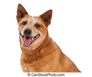 Red Heeler Closeup Happy