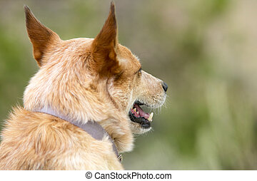 Red heeler coyote hunting dog portrait - A portrait of a red...