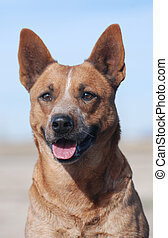 Red Heeler Dog - Red Heeler dog looking forward with it\\\'s...