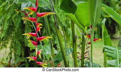 Red Heliconia flowers branch under falling rainy drops. Wet...
