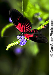 Red heliconius dora butterfly on a flower