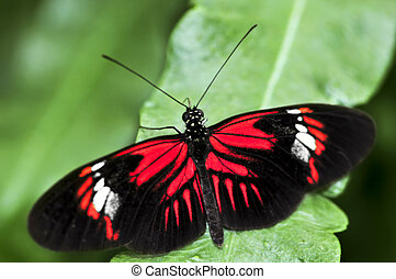 Red heliconius dora butterfly on a leaf