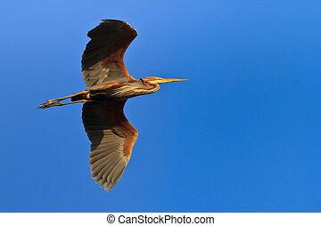 red heron (ardea purpurea) in flight in Danube Delta,...