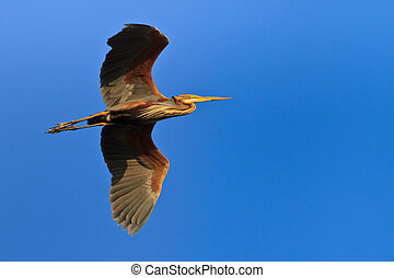 red heron (ardea purpurea) in flight in Danube Delta,...