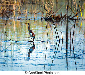 Red heron perched on reed