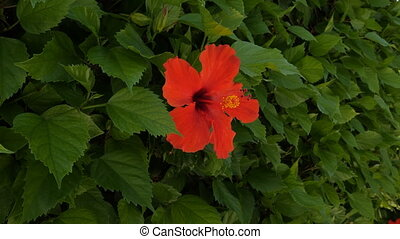Red Hibiscus Flower. Beautiful plant in close-up.