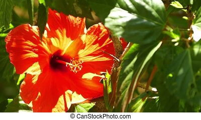 red hibiscus flower closeup