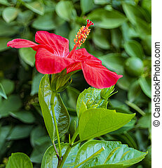 Red hibiscus flower on a green background
