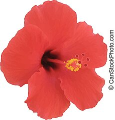 Red hibiscus flower. Vector illustration. Tropical plant.