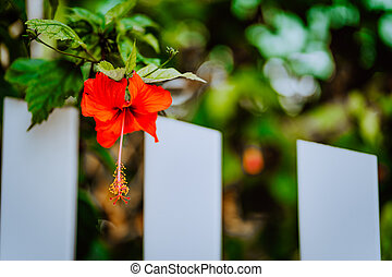 Red Hibiscus flower with blurred background in Seychelles