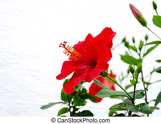 red hibiscus flower with petals and green leaves in the garden