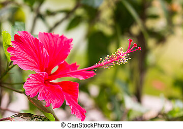 Red hibiscus flower with yellow stamen in bloom