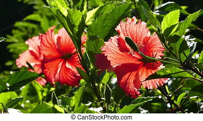 red hibiscus flowers closeup