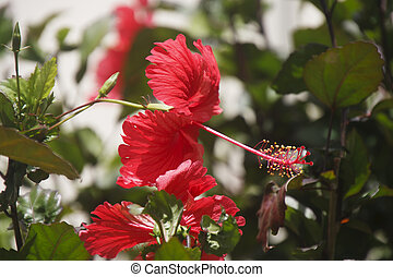 Red Hibiscus Flowers in Sunshine