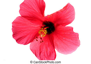 Red hibiscus flowers on a white background.