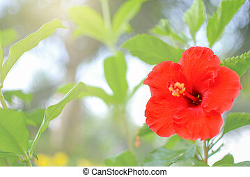 Red hibiscus in the bright morning