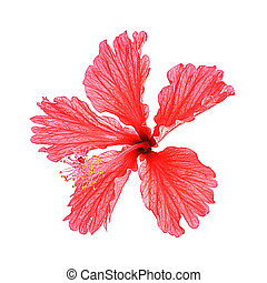 Red hibiscus isolated on white background