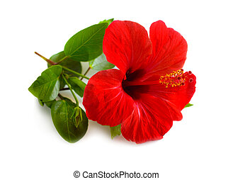 Red Hibiscus known as rose mallow. Other names include hardy hibiscus, rose of sharon, and tropical hibiscus. Isolated