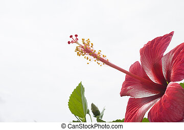 Red hibiscus on a white ground in the garden.