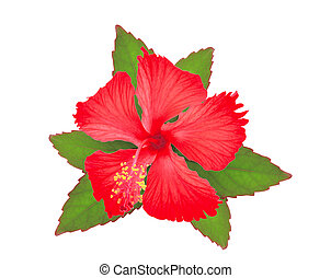 red hibiscus or chaba flower with green leaves isolated on white background