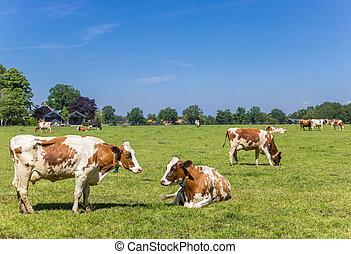 Red Holstein cows in the dutch landscape near Ootmarsum in Twente