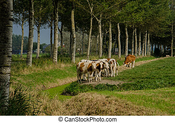 Red Holstein Cows on Farmland