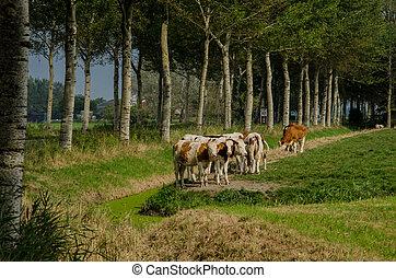 Red Holstein Cows on Farmland