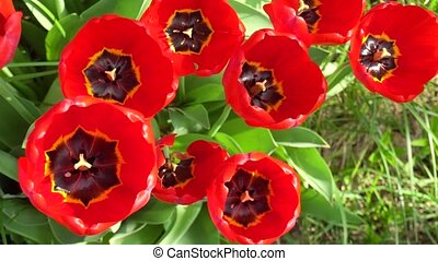 Red home tulips on a bed of scrap on a Sunny spring day. 4k...