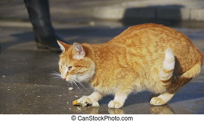Red Homeless Cat on the Street Eat Food in the park in Early Spring. Slow Motion
