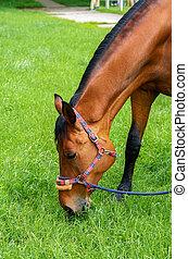red horse eats grass