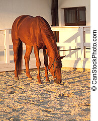 red horse in paddock