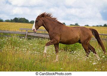 Red horse run in field