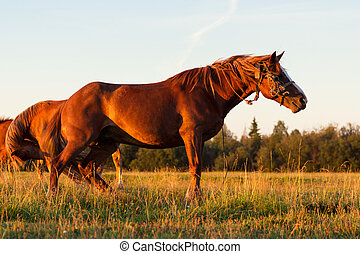 Red horses at golden hour on a pasture