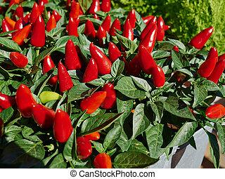 Red hot Chilli Pepper in closeup