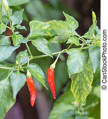 Red hot Chilli pepper in the garden