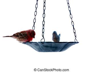 Red house finch feeding