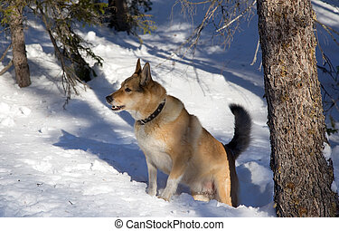 Red hunting dog in winter