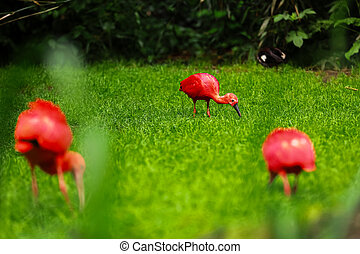 red ibis on green natural grass background. The scarlet ibis Eudocimus ruber looking for food in green grass. Red tropical birds on the ground in the grass on a green background. selective focus