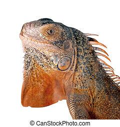 red iguana on white background