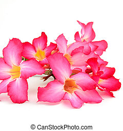 Impala Lily - Red Impala Lily, a beautiful red flower ...