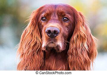 Red irish setter dog head