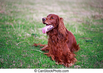 Red irish setter dog in field