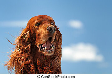 Red irish setter dog turn head on blue sky with clouds