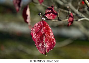 Red Isolated Leaf hanging on Branch
