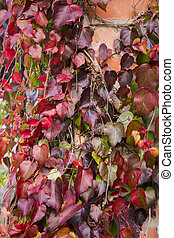 Red ivy creeper leaves on the wall of a building
