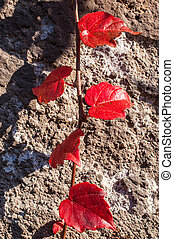 Red ivy leaves on an old stone wall