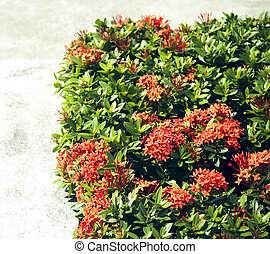 Red Ixora coccinea hedge is a species of flowering plant in the Rubiaceae family.