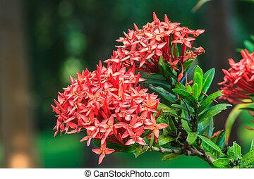 Red Ixora (Coccinea) the Beautiful Flower