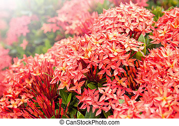 Red ixora flower in the garden