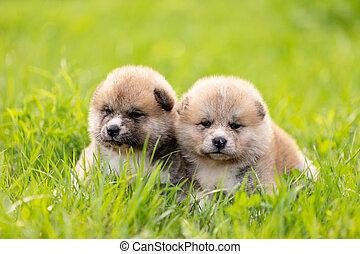Red japanese akita puppies walks outdoor at park